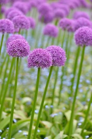 allium flower: giant purple allium flower field with tiny blue flowers