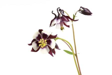 Rosa Biedermeier Columbine Blumen Isoliert Auf Weißem Hintergrund ...