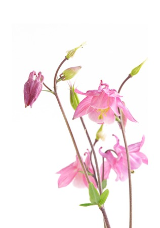 pink columbine: Pink Biedermeier Columbine Flowers isolated on white background