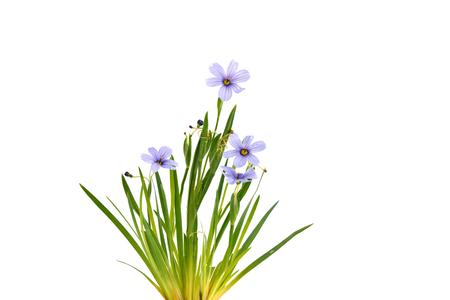 devon: Sisyrinchium Devon Skies, Blue-Eyed Grass, suited for rock gardens