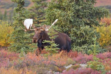 moose: Bull Moose (alces alces) in Denali National Park, Alaska