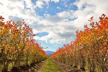 autumn colour: Rows of blueberry bushes in fall color with sunny sky