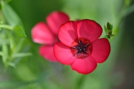usitatissimum: Red Flax Flowers in field, Linum usitatissimum Stock Photo