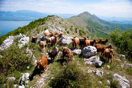 Goats at mountain above Skadar Lake Stock Photo - 9402746