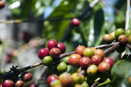 coffee tree with ripe fruits Stock Photo - 14408967