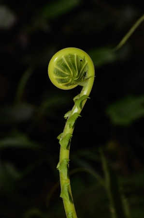 Unfurling Fern Tip ,nature Thailand Stock Photo