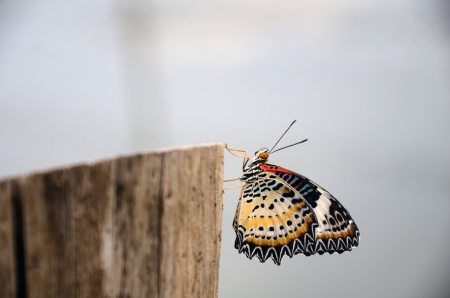 Butterfly on a Stump photo