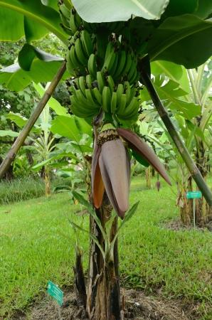Banana fruit flower blossom closeup closed on tree in Thailand photo