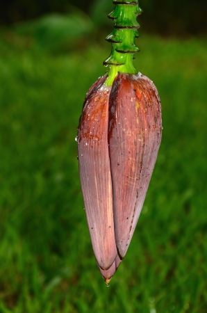 Banana fruit flower blossom closeup closed on tree in Thailand photo