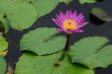 purple lotus photo