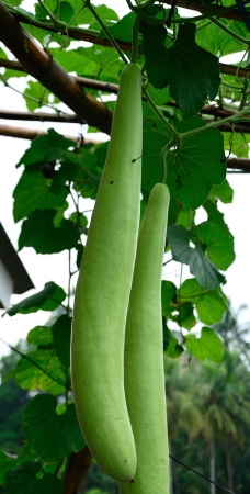 White flower gourd,Thailand Vegetable photo