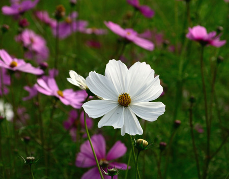 Field of white and pink cosmos flowers in Thailand photo