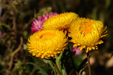 Helichrysum  flower in Thailand area photo