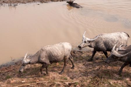 buffalo grass: Swamp buffalo on grass field,thalay-noi-waterfowl-park phatthalung Thailand