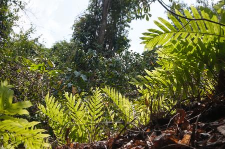 Drynaria quercifolia (L.) J. Sm. fern