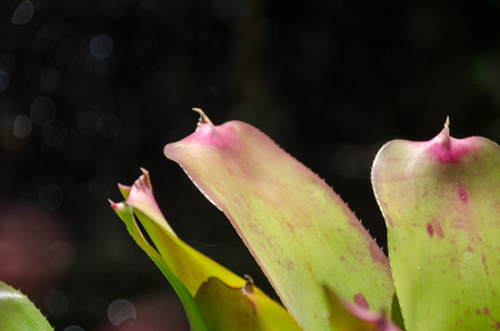 neoregelia: Close up of colorful bromeliad plants in flower shop