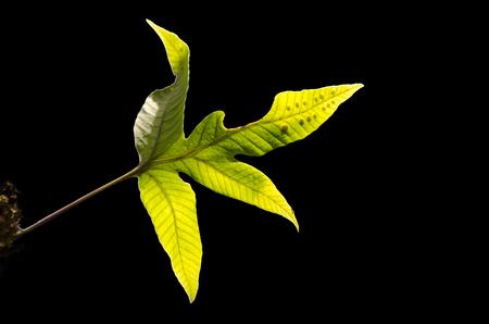 polypodiaceae: fern leaf with  dark background