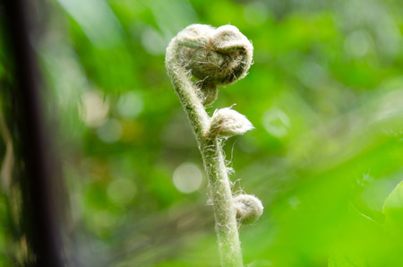 polypodiaceae: POLYPODIACEAE fern with  nature background
