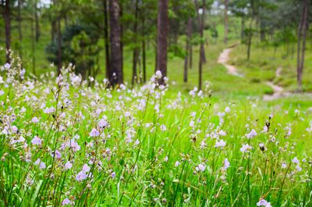 field of thai: Murdannia giganteum field, Thai violet flower, Phu Soi Dao National Park, Uttaradit, Thailand.