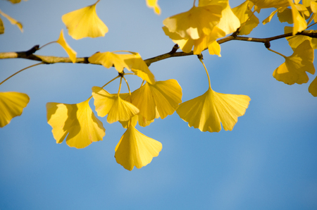 Detail of the yellow leaves of a Ginkgo Stock Photo