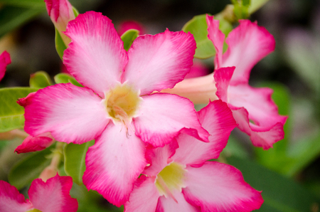 obesum: Closeup of Desert Rose Tropical flower (Also called Impala Lily, Mock Azalea, Pink adenium)