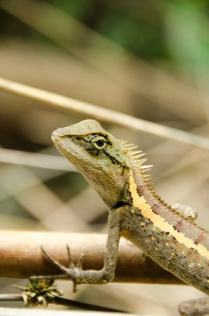 Lacertilia in the nature,chameleon, soft focus,Phu Soi Dao National Park,Uttaradit,Northern of Thailand Stock Photo