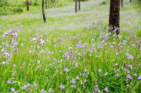 Closeup Murdannia giganteum, Beautiful violet flower blooming in the mountain hill on rainy season. Phu Soi Dao National Park, Utaradit, Thailand.