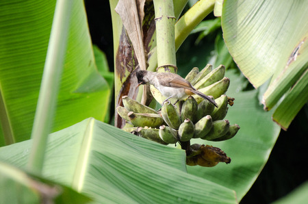 The sooty-headed bulbul (Pycnonotus aurigaster) on a bunch of bananas.feeding her babies found in south-eastern Asia. Its natural habitat is subtropical or tropical moist lowland forests