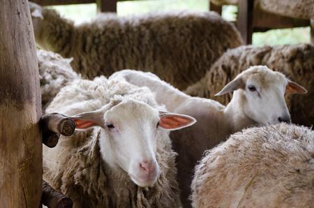 Sheep in the farm, Mae Hong Son Thailand Stock Photo