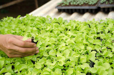 Close up of female farmer hand examining Young seedlings in a hothouse,lettuce sprouts in cultivated agricultural field, agriculture and crop protection