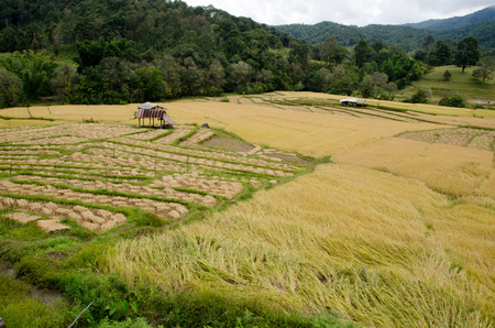 Rice fields,Rice field green grass blue sky cloud cloudy landscape background in the northern Thailand.