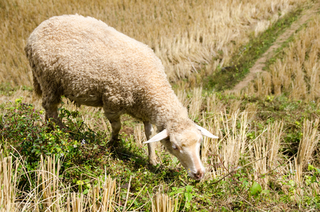 Sheep in the rice paddies after harvest. Mae Hong Son Thailand