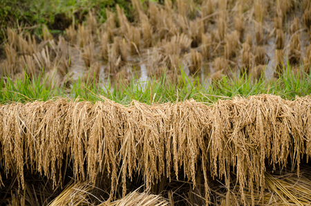 Inflorescence rice fields. landscape of Mae Hong Son, Northern Thailand Stock Photo