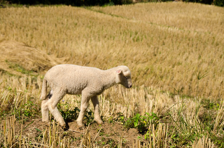 Lambs in the rice paddies after harvest. Mae Hong Son Thailand