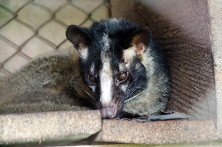 Asian Palm Civet - animal who produce the most expensive coffee. Civet Coffee,Mae Hong Son.Thailand.
