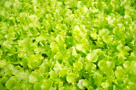 Lettuce crop type oak leaf,Young seedlings in a hothouse,lettuce sprouts, Mae Hong Son.Thailand
