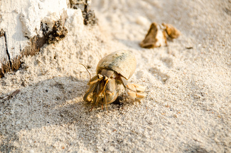 Hermit crab (lat. Paguroidea) Hermit crab (lat. Paguroidea) runs on the sand with direct sunrise at the lipe. Thailand Stock Photo