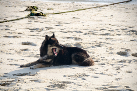 Dog sleeping and relaxing on the sand in the errey morning with direct sunrise.( Lipe Satun, Thailand)