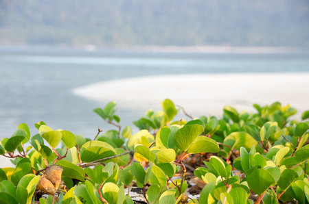 Beautiful beach morning glory on a morning sunshine day. (Scientific Name : Ipomoea Pes-caprae) Stock Photo