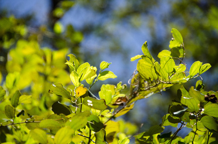 green young leaves and sun on blue sky Stock Photo