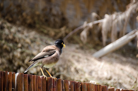 Common Myna on the bamboo fence. White-vented Myna