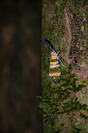 Image of fulgorid bug or lanternfly (Pyrops oculata) in nature. Thailand Stock Photo - 106791830
