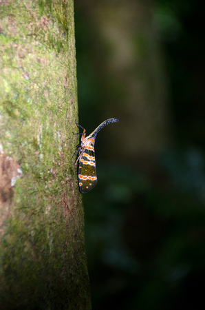 Image of fulgorid bug or lanternfly (Pyrops oculata) in nature. Thailand Stock Photo - 106936329