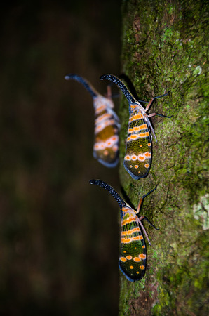 Image of fulgorid bug or lanternfly (Pyrops oculata) in nature. Thailand