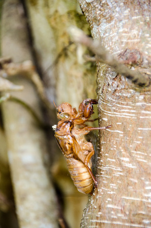 Stain insect cicadas perch on trees Stock Photo - 106936417
