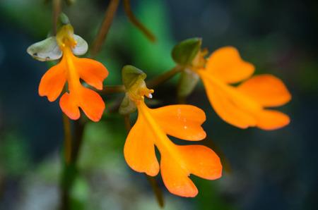 Wild orchid (Habenaria rhodocheila) ,Phu Soi Dao National Park, Utaradit, Thailand.