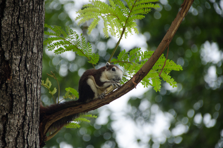Squirrel  is eating nut and sitting on the branch in the public park, chatuchak park, Bangkok, Thailand. Stock Photo