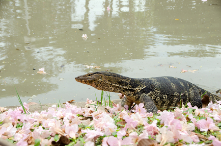 Animal and Wildlife, Asian Water Monitor or Varanus Salvator is on the waterfront with pink flowers falling on the floor. chatuchak park, Bangkok, Thailand