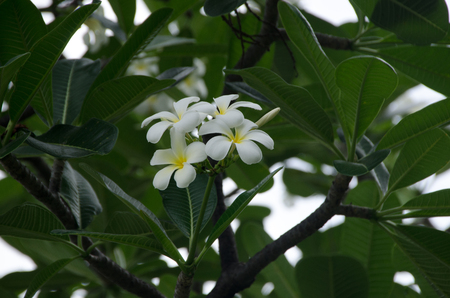 Plumeria flower with green background, tree texture