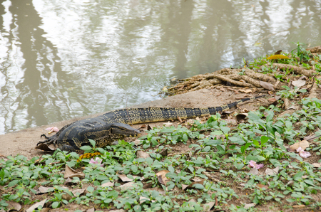 Animal and Wildlife, Asian Water Monitor or Varanus Salvator is on the waterfront. chatuchak park, Bangkok, Thailand